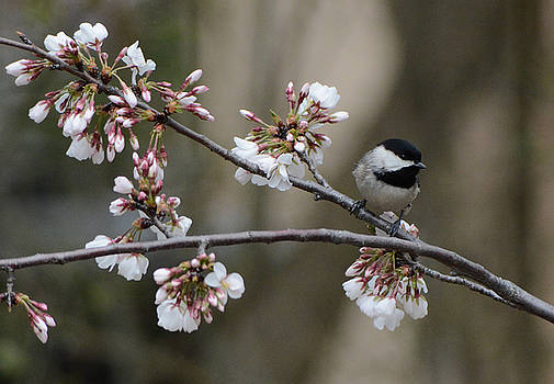 Black Capped Chickadee On Flowers 122120150623 by WildBird Photographs