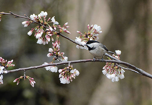 Black Capped Chickadee On Flowers 122120150636 by WildBird Photographs