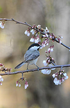 Black Capped Chickadee On Flowers 122120151194 by WildBird Photographs