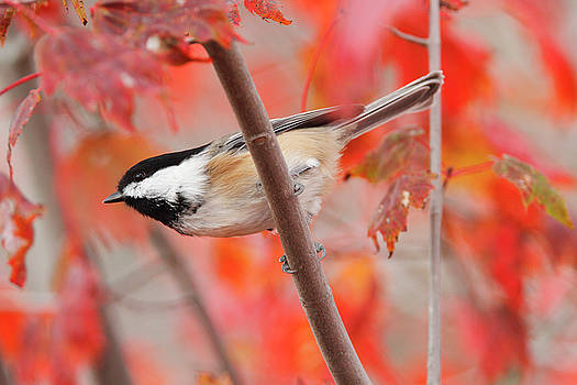 Black-capped Chickadee Songbird in a Bright Red Maple Tree  by Scott Leslie
