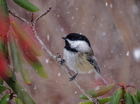 Black-capped Chickadee Songbird in Snow by Scott Leslie