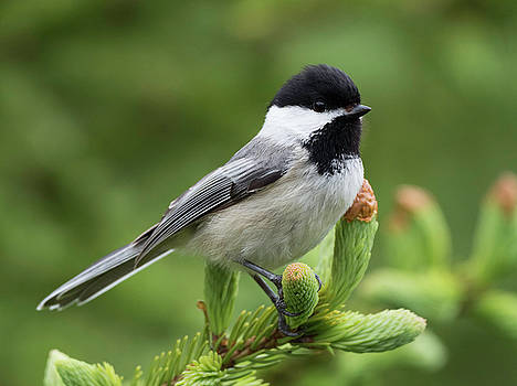 Black-capped Chickadee Songbird  by Scott Leslie