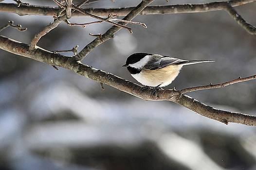Black-capped Chickadee winter gray by Linda Crockett