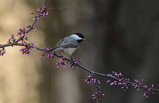 Black Capped Chickadee With Purple Flowers 122120151821 by WildBird Photographs