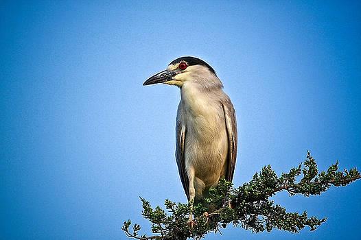 Black Capped Night Heron by Linda C Johnson