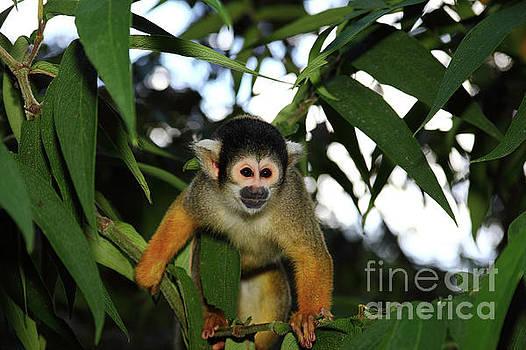 James Brunker - Black-capped squirrel monkey Saimiri boliviensis