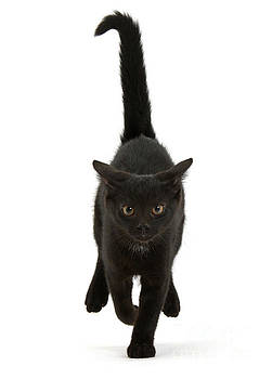 Black Cat on the Run by Warren Photographic