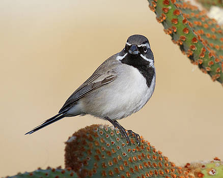 Black Chinned Sparrow on Cactus by Deb Henman