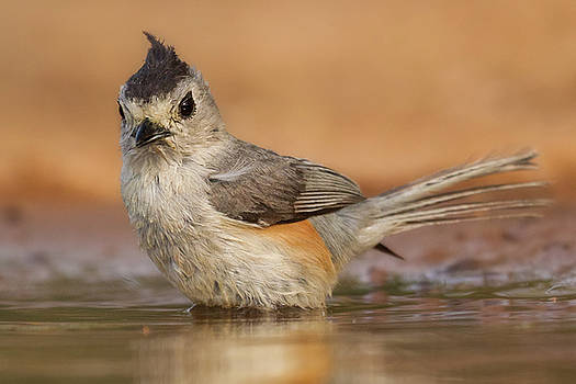 Black-crested Titmouse Bathing by Jerry Fornarotto