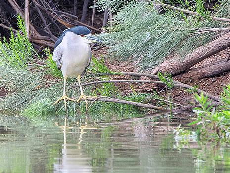 Black-crowned Night Heron 7426-021418-1cr by Tam Ryan