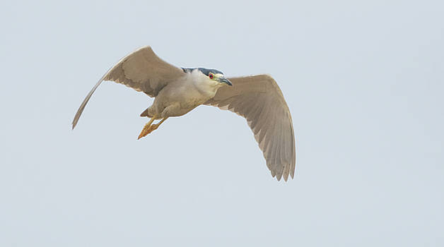 Black-crowned Night Heron 7554-021418-1cr by Tam Ryan