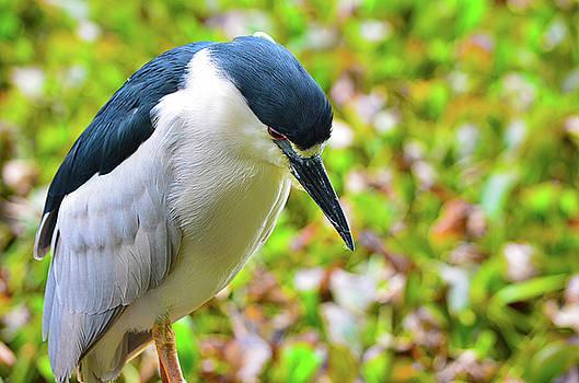 Spade Photo - Black-crowned Night Heron