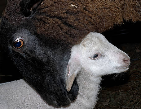 Black Ewe with Her White Lamb by Warren Sarle