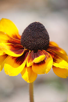 Black Eyed Susan 2 by Lisa Gabrius