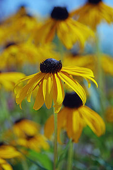 Black Eyed Susan 3 by Lisa Gabrius
