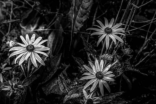 Black-eyed Susan by Bob Orsillo