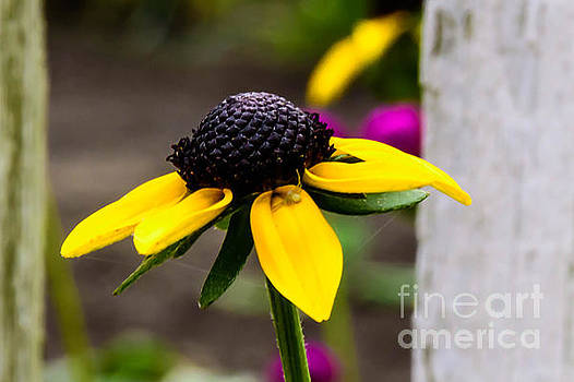 Black Eyed Susan Delight by Crissy Anderson