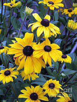 Connie Fox - Black Eyed Susan Flowers in Alaska