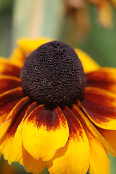 Black Eyed Susan by Lisa Gabrius
