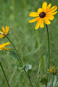 Black Eyed Susan by Michael Wall