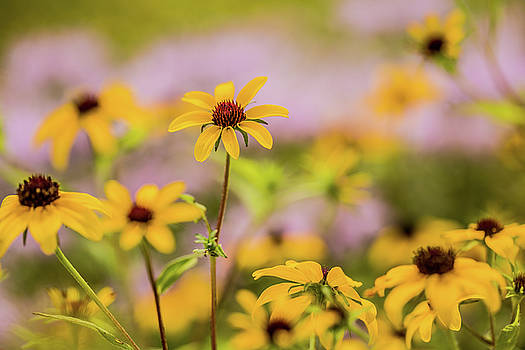 Black Eyed Susan Sunflowers in Field by Carol Mellema