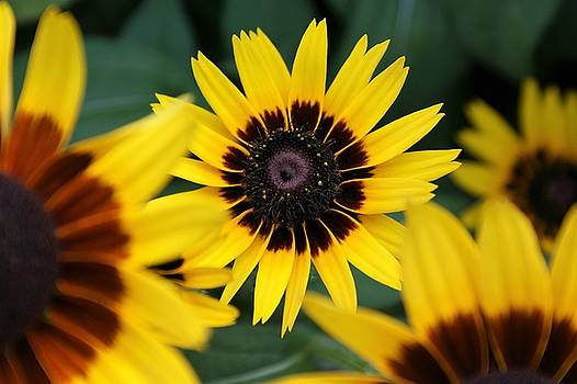 Black Eyed Susans ie Rudbeckia by Bruce Bradley