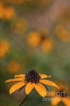 Black-eyed Susans by Jim Wright