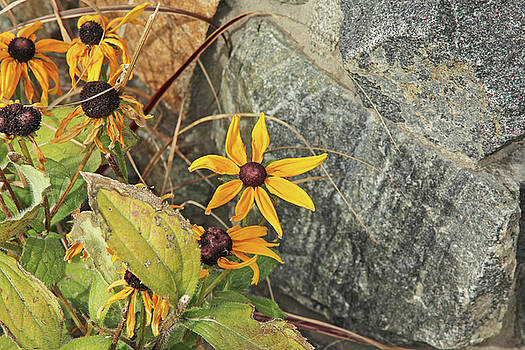 Black Eyed Susans Next Gray and Black Rock Fading Foliage Green 2 10222017 Colorado by David Frederick