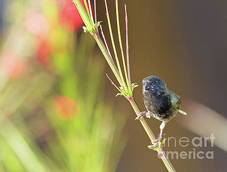 Black-faced Grassquit by Jean-Luc Baron