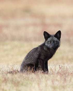 Max Waugh - Black Fox Kit in Field 2