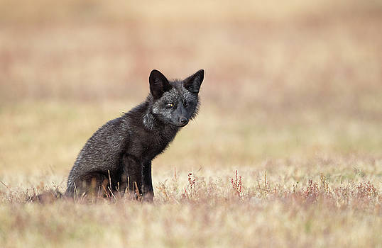 Max Waugh - Black Fox Kit in Field