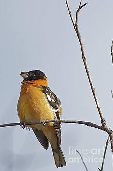 Black Headed Grosbeak by Natural Focal Point Photography