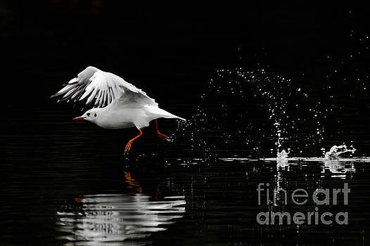 Black-headed Gull - Low Key by Paul Farnfield