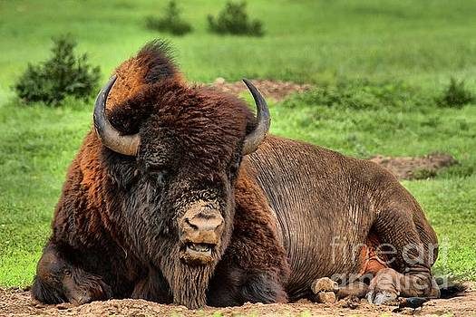 Adam Jewell - Black Hills Bison At Rest