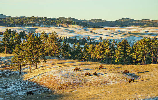 Black Hills Bison before sunset by Bill Gabbert