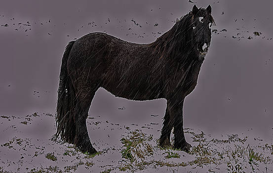 Black Horse In The Snow by Scott Lyons