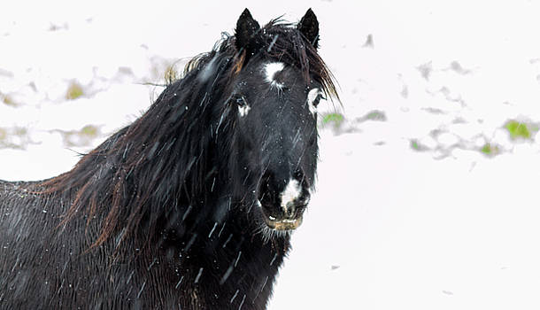 Black Horse Staring In The Snow by Scott Lyons