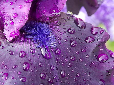 Black Iris After the Rain by Coleen Harty