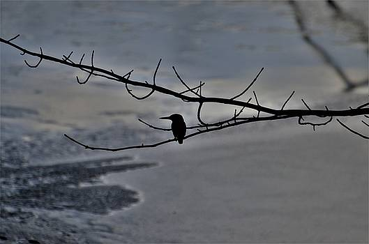 Black Kingfisher by Renee Pettersson
