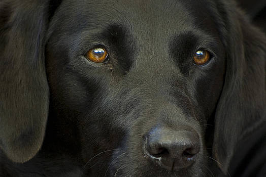 Black Labrador Dog by Pixie Copley