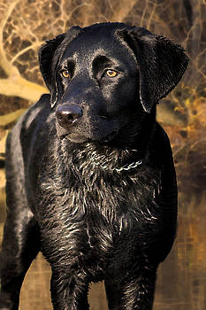 Cathy  Beharriell - Black Labrador Retriever Dog