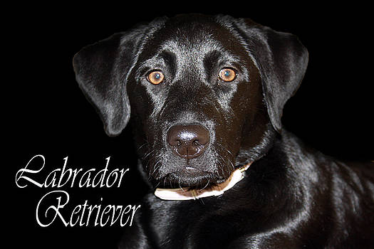 Cathy  Beharriell - Black Labrador Retriever Portrait