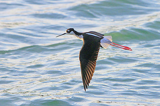 Black-necked Stilt 8 by Shoal Hollingsworth