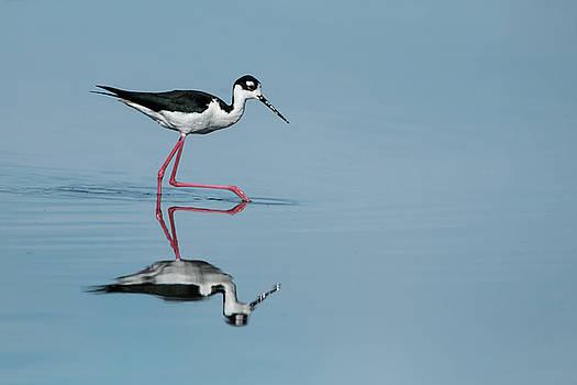 Black-Necked stilt by Celine Pollard