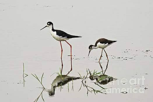 Tim Moore - Black-necked Stilts Reflected
