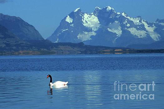 James Brunker - Black necked swan on Last Hope Sound Chile