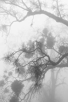 Black Oak Branches and Mistletoe in Fog by Alexander Kunz