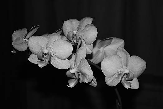 Black Orchid by Jessica Wallace
