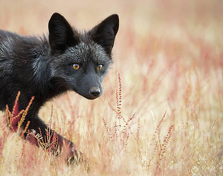 Max Waugh - Black Phase Red Fox Kit 2