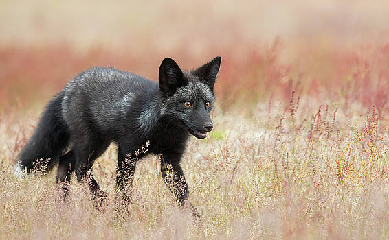 Max Waugh - Black Phase Red Fox Kit
